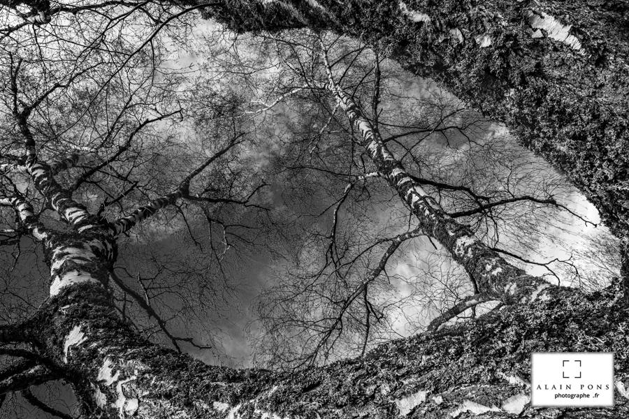 Le bouleau à l'écorce blanche et aux branches tutoyant le ciel bleu se retrouve transformé en noir et blanc