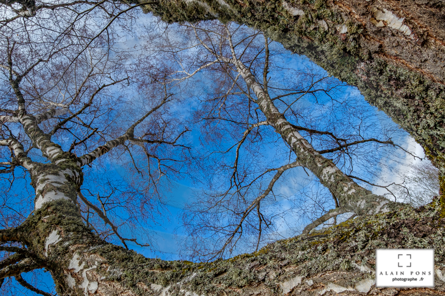 Le bouleau est un arbre magnifique qui permet beaucoup de graphisme