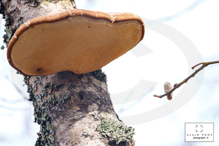 Le champignon polypore collé à son copain le jeune boulot, un bourgeon tente une approche