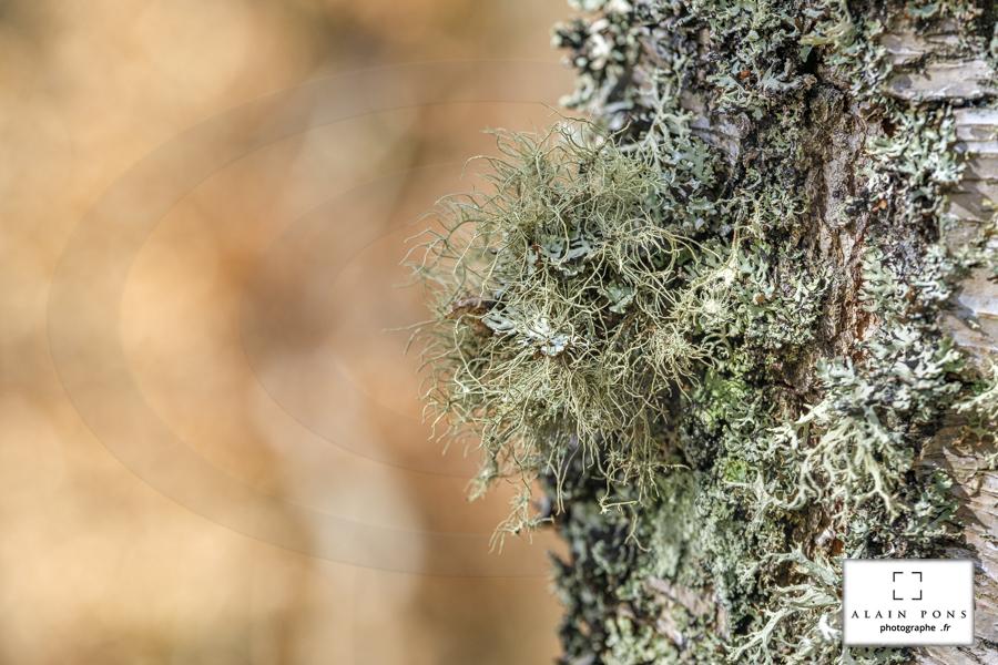 Le lichen échevelé sur le tronc de son bouleau