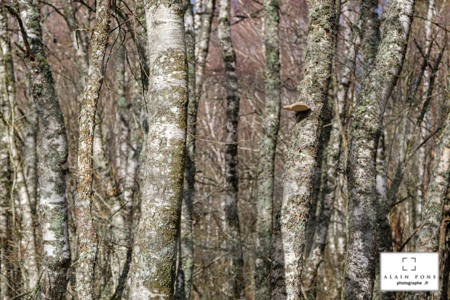 La forêt de bouleaux et son champignon polypore solitaire