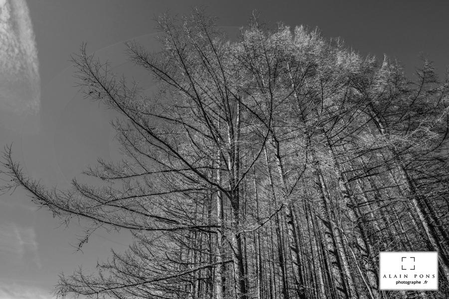 quelques hautes branches du mélèze, mon bois, fruit d'une croissance lente, est le plus durable et le plus solide des bois de conifères