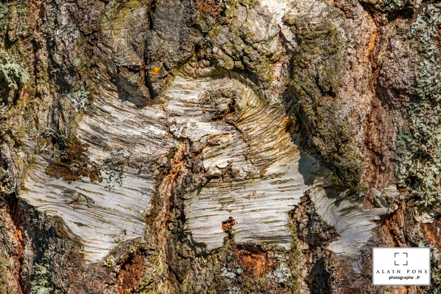 La beauté de l'écorce, sans cesse renouvelée, différente selon les arbres, contrastée et vallonnée.