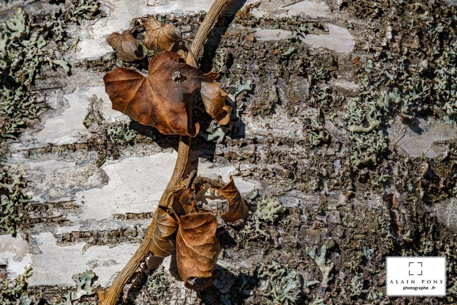 Des feuilles mortes sur l'écorce d'un bouleau, un lierre en fin de vie