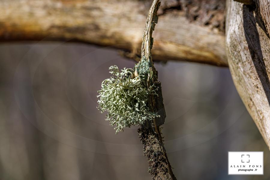 Une boule de lichen en suspension
