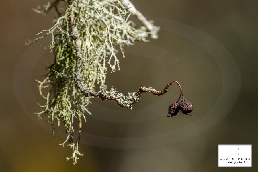 Deux baies accrochées à une touffe de lichen, un joli bokeh