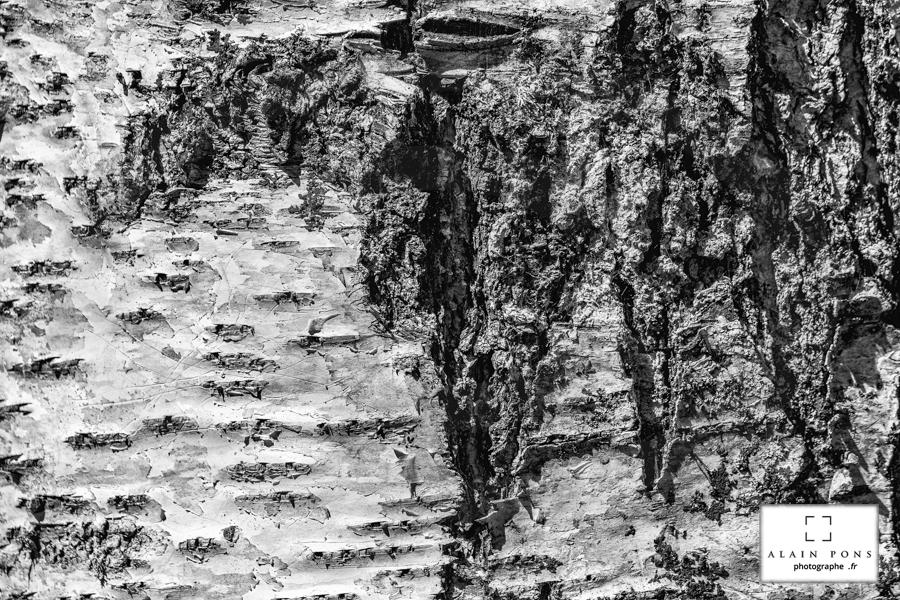 Une écorce de bouleau, en noir et blanc, avec des sillons creusés tels des vallées escarpées