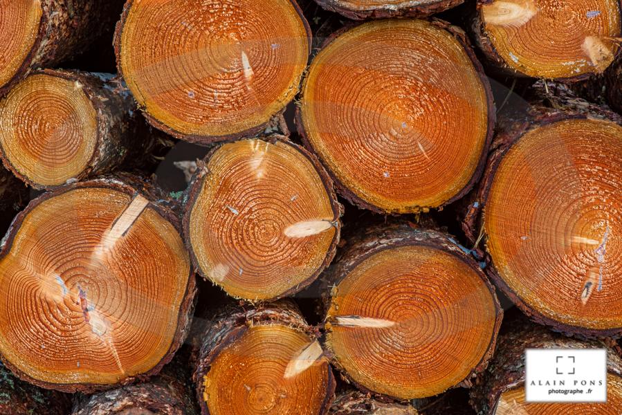 arbres coupés, empilés et prêts pour le transport et leur transformation