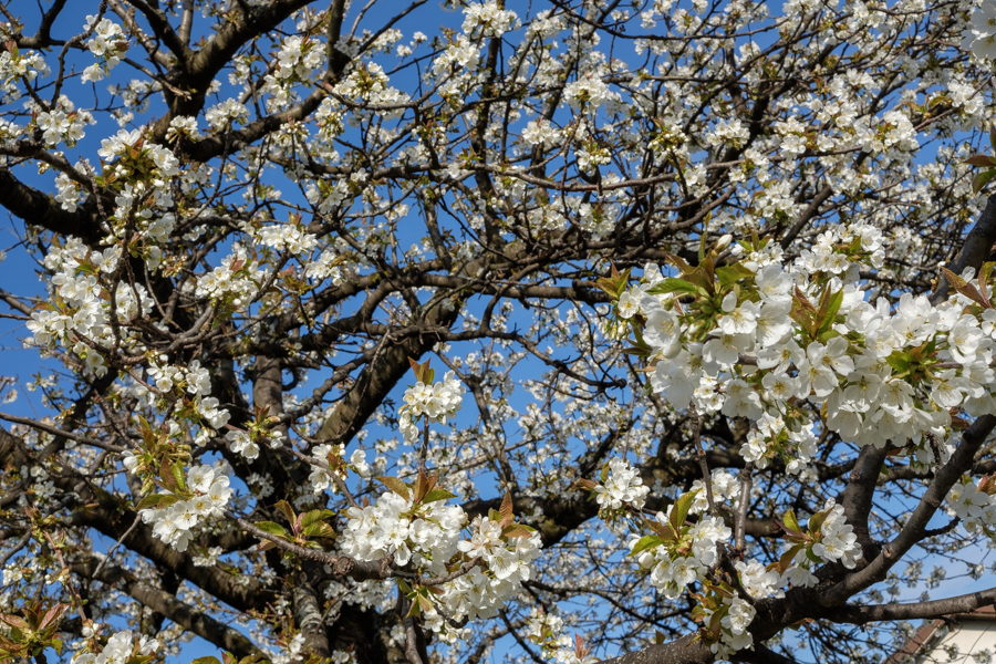 Ces jolies fleurs de cerisiers, perdues pour la vue en 2020, à Clermont-Ferrand en France - Covid-19