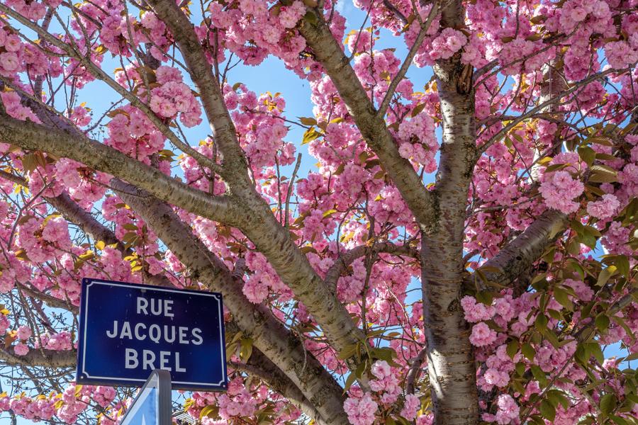 Encore des cerisiers en fleur rue Jacques Brel à Clermont-Ferrand en France en 2020. A revoir en 2021, car la floraison est courte. A Clermont-Ferrand en France en 2020. Covid-19