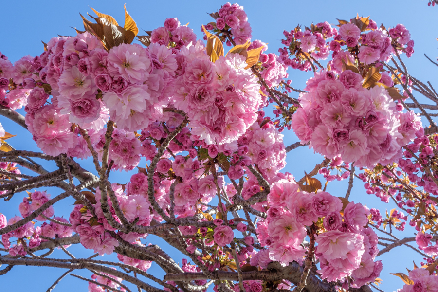 Ces très jolies fleurs de cerisier que tous n'aurons pas vu. Un printemps perdu. A CLermont-Ferrand en France en 2020. Covid-19